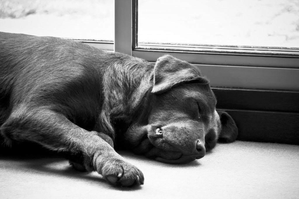 Brown_Labradors_lazy_day_at_home_(2450382286)-1